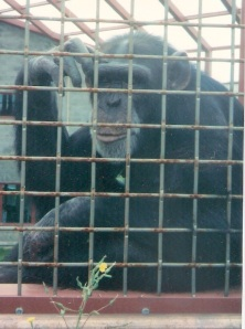 The chimpanzee Tatu making the sign for BLACK.